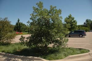 Trees at the Morton Arboretum studied for their stormwater benefits. Image provided by the Soil Science Society of America