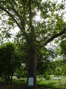Gage Park covers 71 acres of land in downtown Hamilton, and contains more than 100 different tree species. Many of the park's larger trees, such as this one, were valued at as much as $20,000. Photo credit: Alex Moroz/City of Hamilton.